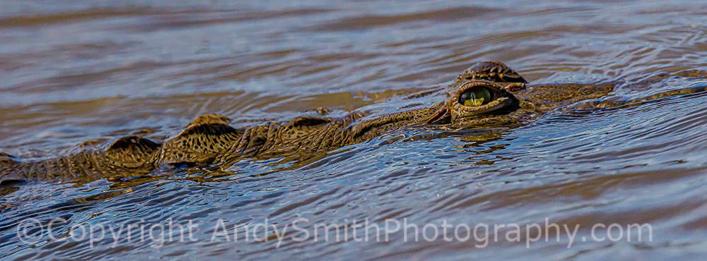 Crocodile, Crocodylus acutus, swimming