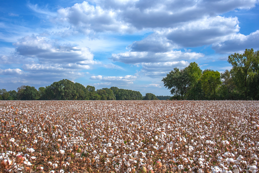 Sea of cotton, cotton field photograph