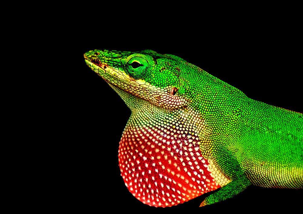 Portrait Of A Lizard Photography Art | draphotography