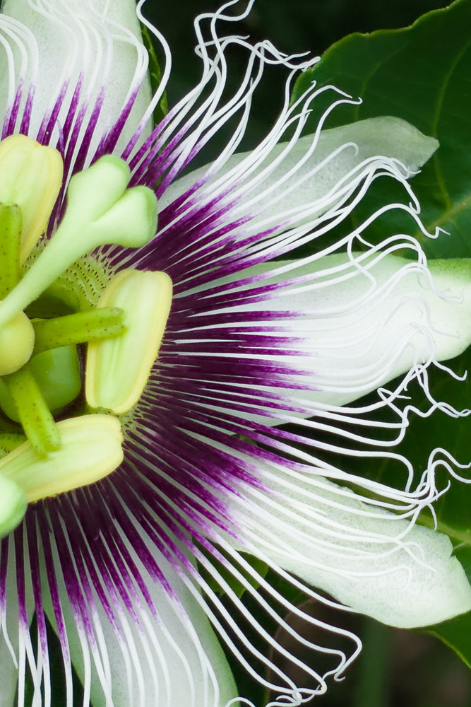 Lilikoi Half Blossom Photography Art | Bird In Paradise
