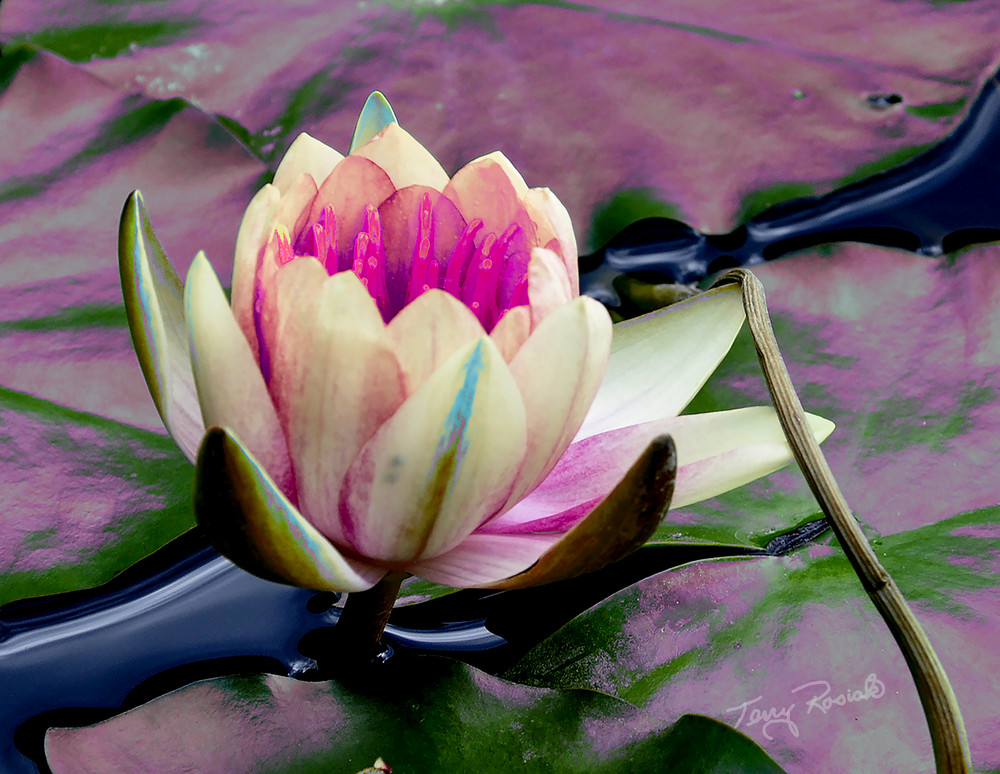Lily Pad Funky 4, Photo by Terry Rosiak
