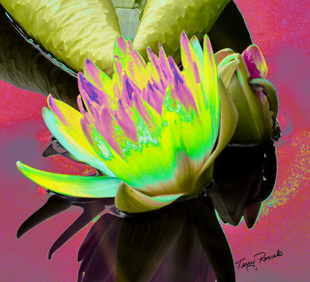 Lily Pad Funky 1, Photo by Terry Rosiak