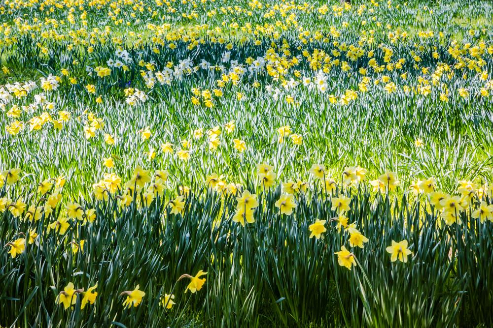 Daffodills Photography Art | Robert Leaper Photography