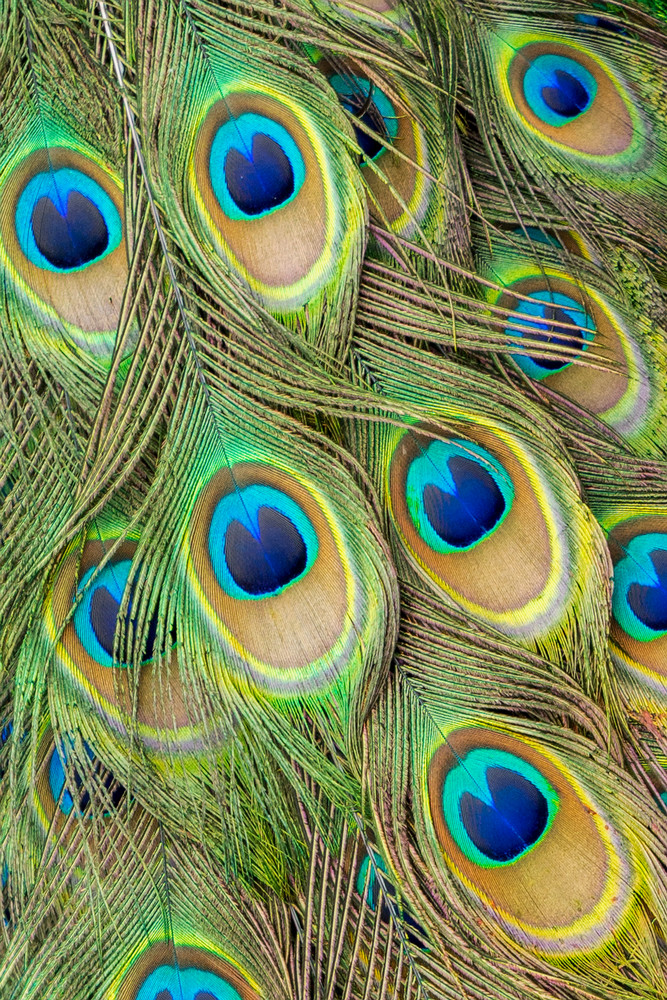 Living Peacock Abstract Photography Art   Bird In Paradise