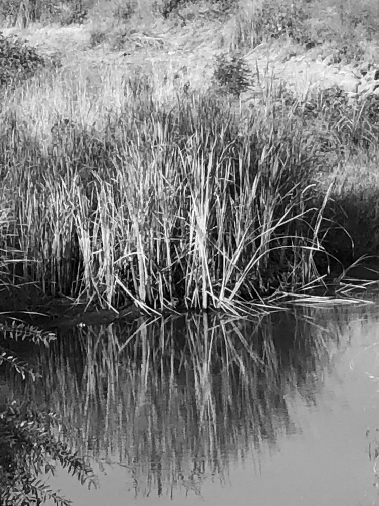 Reeds in drainage ditch, Vacaville, CA