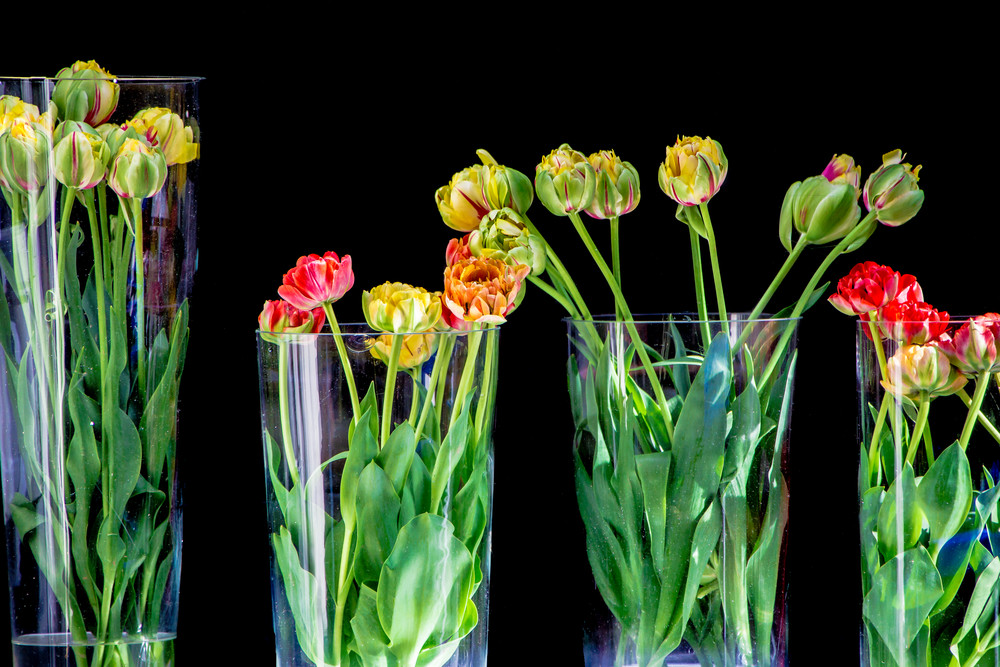 Tulips Photography Art | Robert Leaper Photography