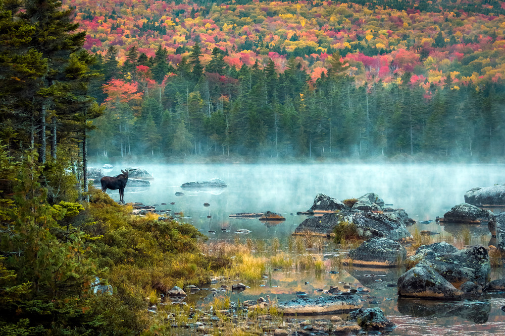 Morning Moose Photography Art | Monteux Gallery