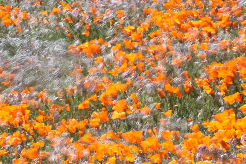 Fluttering Poppy Dance Photography Art | Josh Kimball Photography
