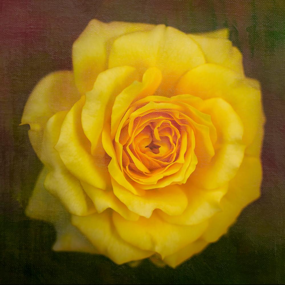 Portrait Of A Rose Photography Art | Carol Brooks Parker Fine Art Photography