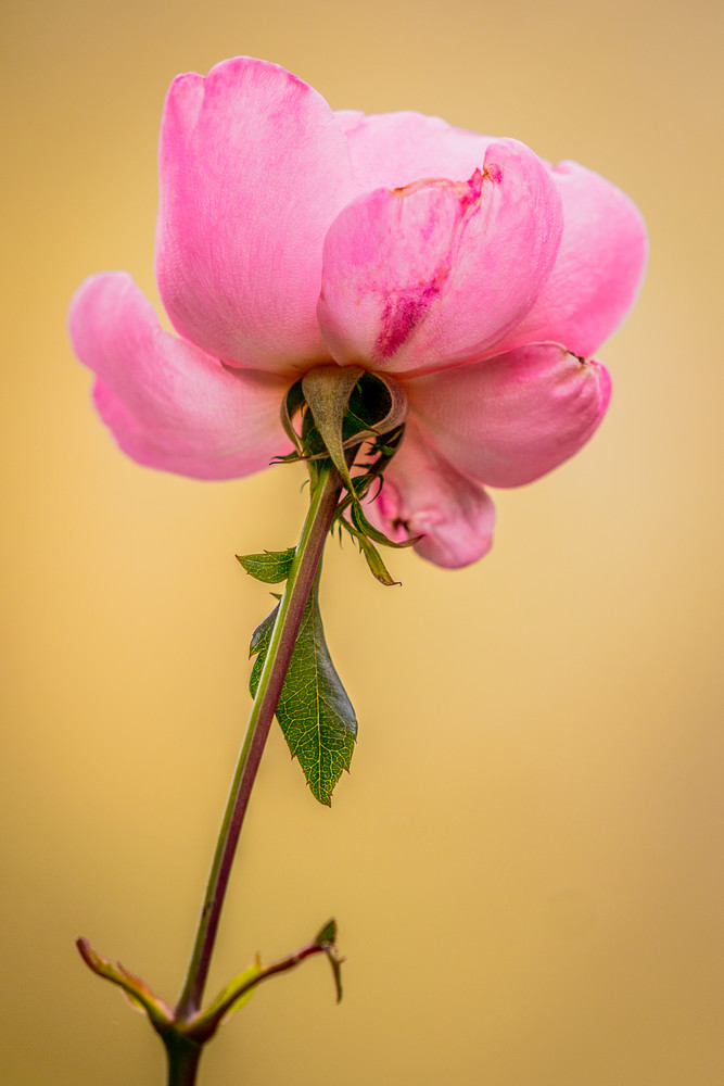 Rose 002 Floral Stem Photography Art | Carol Brooks Parker Fine Art Photography