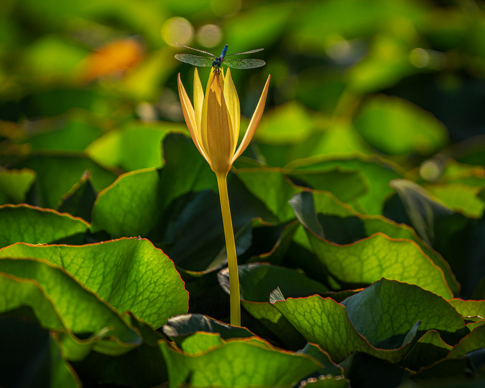 Dragonfly And Waterlily Photography Art | Carol Brooks Parker Fine Art Photography