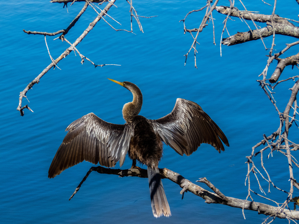 Anhinga 2 Photography Art | Lake LIfe Images