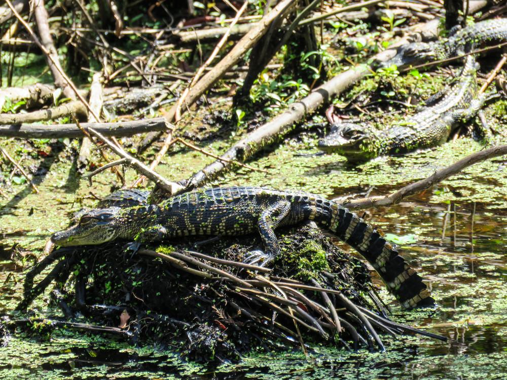 Alligator Young Photography Art | Lake LIfe Images