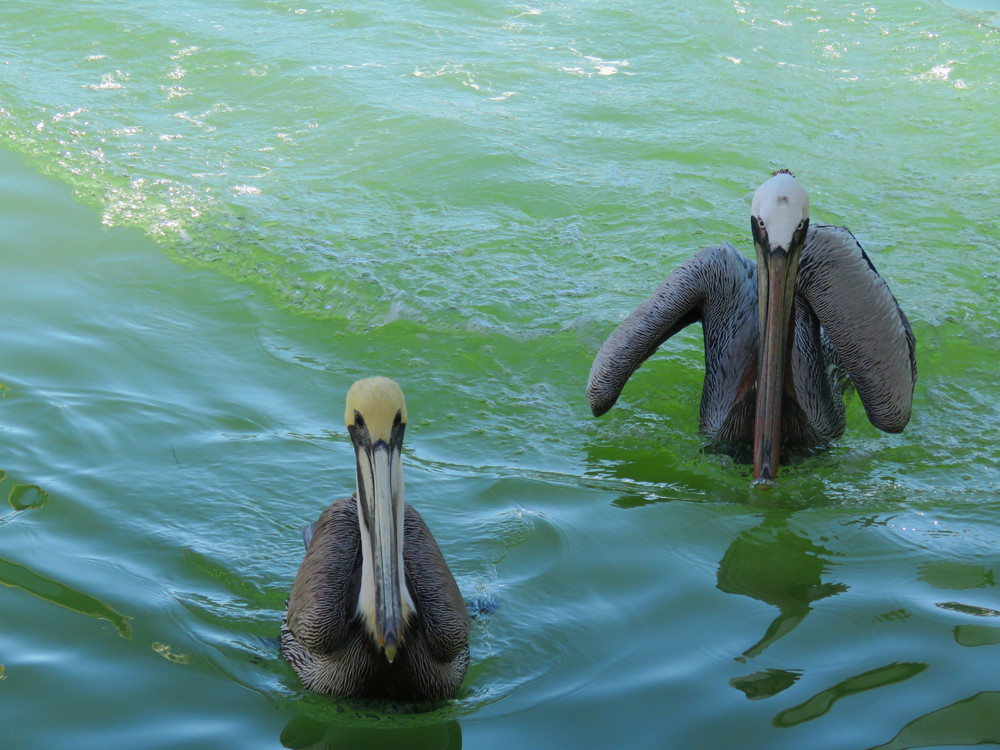 Brown Pelicans Mooching Photography Art | Lake LIfe Images