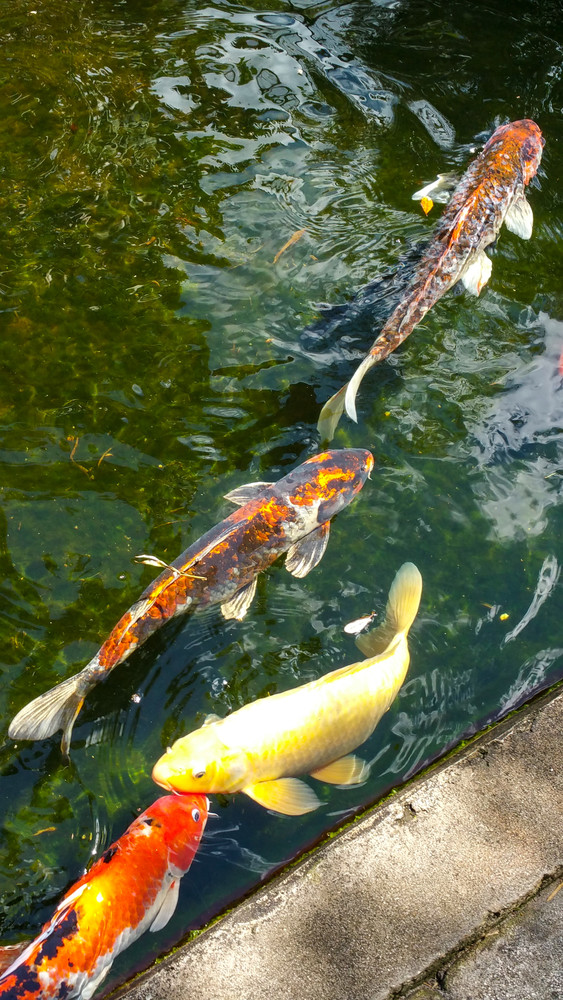 Koi Swimming In Pond Photography Art | Lake LIfe Images