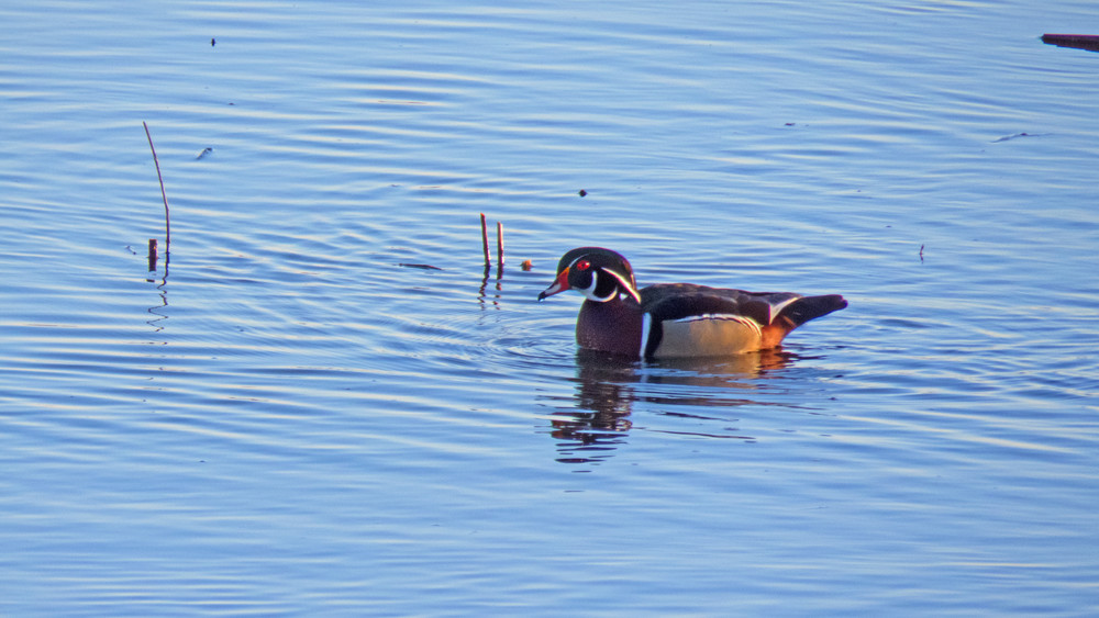 Male Wood Duck 2 Photography Art | Lake LIfe Images