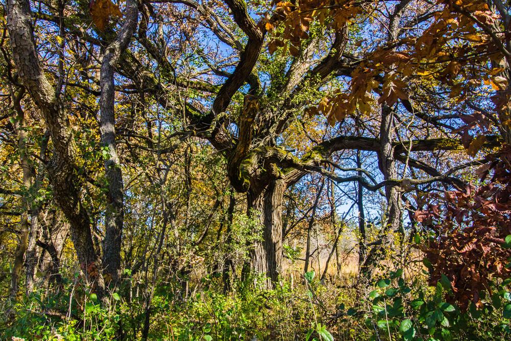 Old Burr Oak Tree Photography Art | Lake LIfe Images