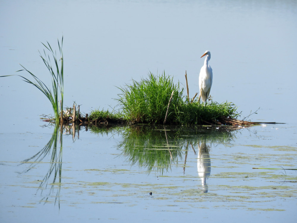 Reflections Great Egret Photography Art   Lake LIfe Images