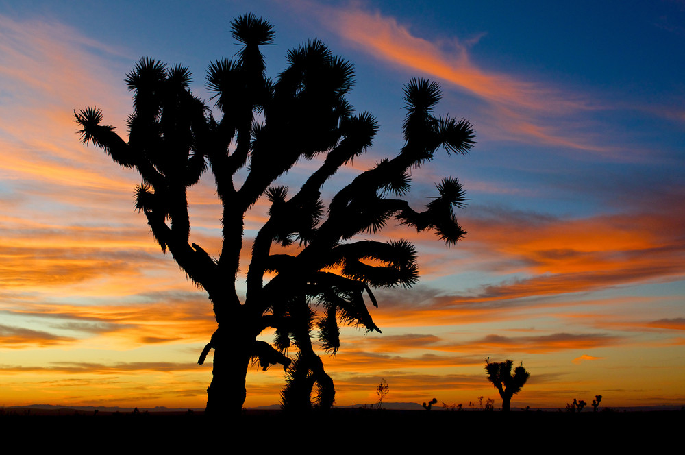 photo of a large joshua tree in the mojave desert at sunrise