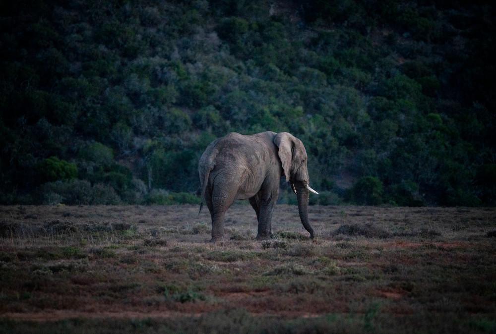 Elephant On Safari Photography Art   Kit Noble Photography