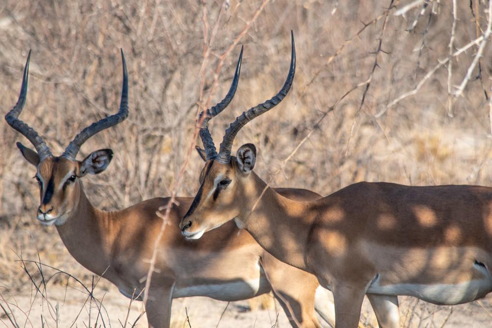 Black Faced Impala, Namibia Art | Roost Studios, Inc.