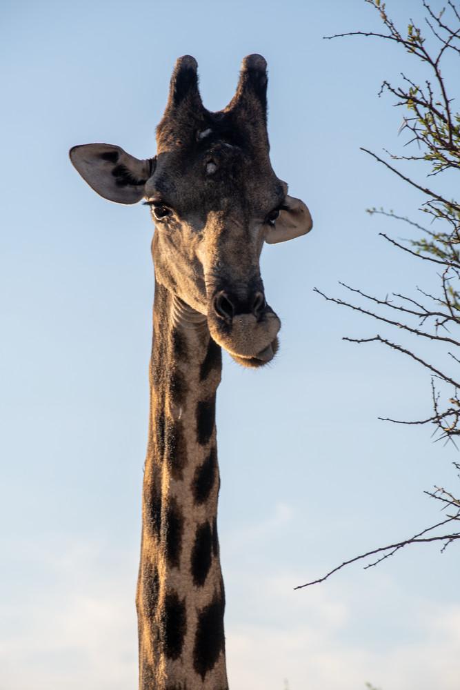 Giraffe, Namibia Art | Roost Studios, Inc.