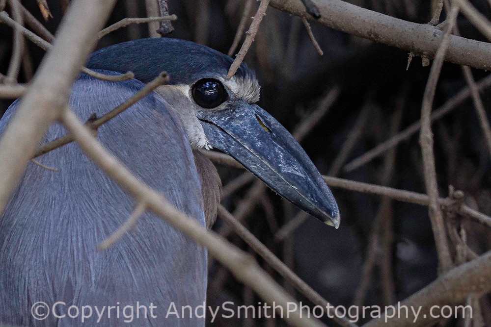 fine art photograph of Boat-billed Heron, Cochlearius cochleariu