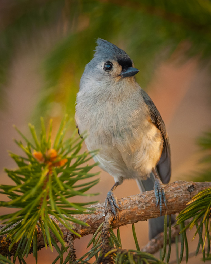 Tufted Titmouse Photography Art | Monteux Gallery