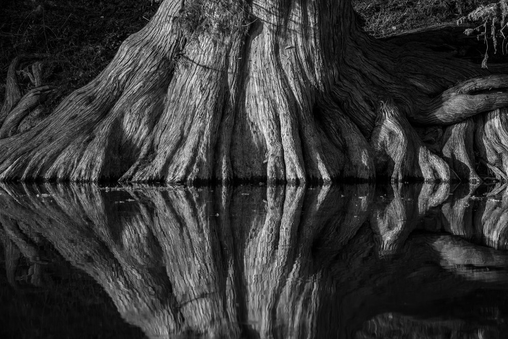 photo, cypress trees, Guadalupe River,  Texas Hill Country