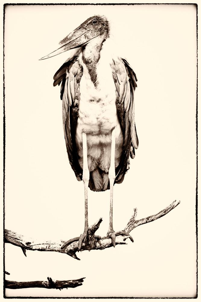 Marabou Stork, Sepia Photography Art | Carol Brooks Parker Fine Art Photography