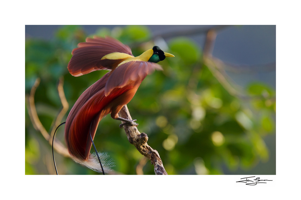 Red bird of paradise photograph, bird wall art for purchase
