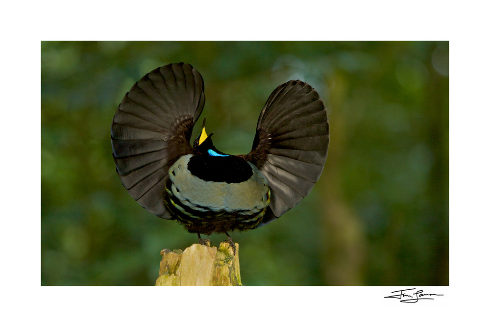 Photograph of a bird of paradise displaying available as wall art.