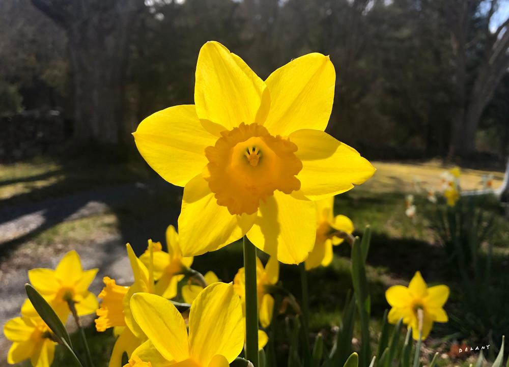 Daffodil Splendor by George Delany