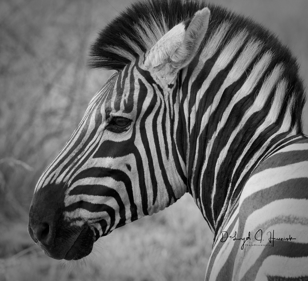 """Zanny Zebra"""