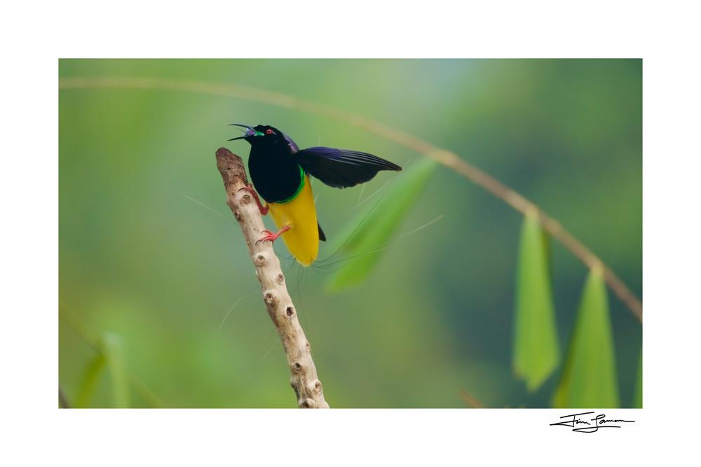 Twelve Wired Bird Of Paradise Male Calling Art | Tim Laman