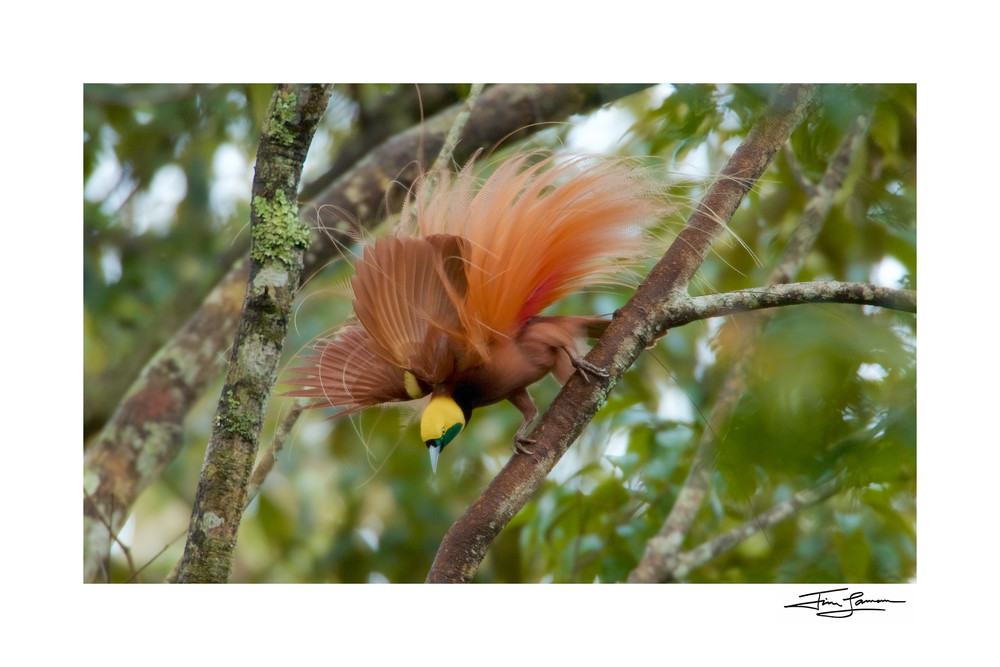 Raggiana bird of paradise in full display available as wall art.