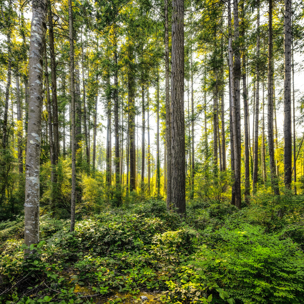 Powell River Forest Photography Art   James Alfred Friesen