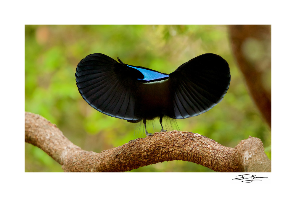 Magnificent riflebird photograph as art.