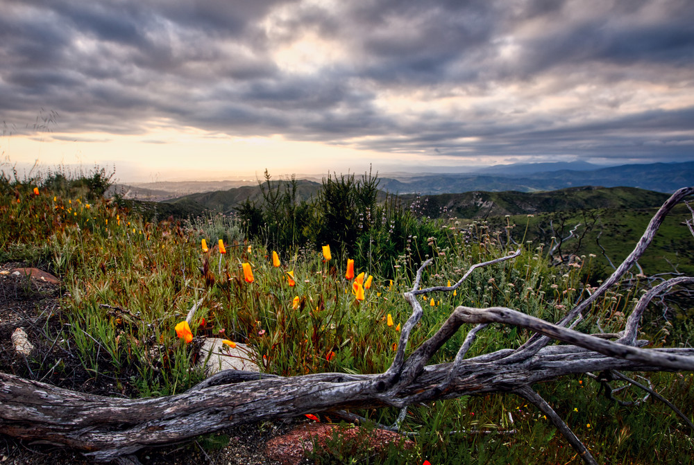 Poppies At Dusk Photography Art | Chad Wanstreet Inc