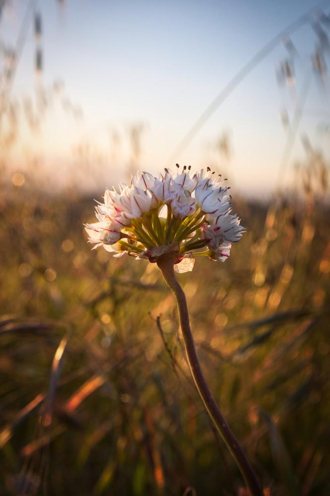 Desert Flower Photography Art | Chad Wanstreet Inc