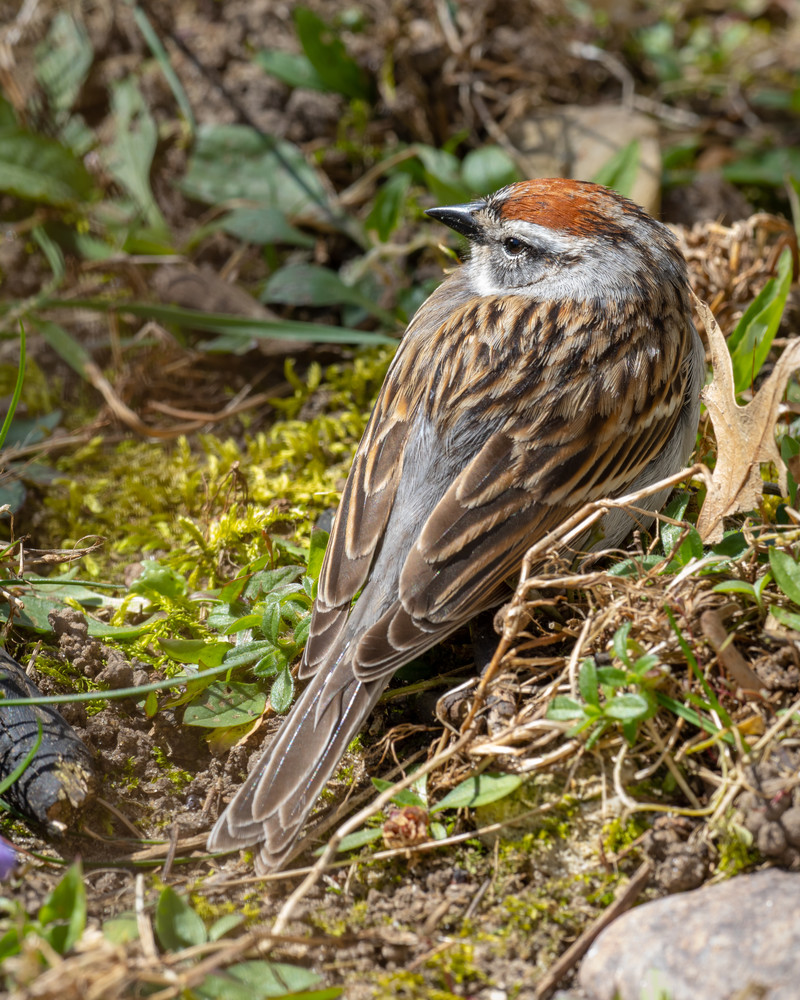 Comfortable Chipping Sparrow - shop fine art prints   Closer Views