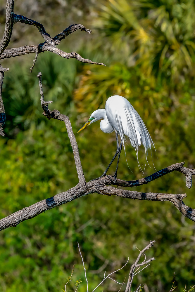 Great Egret  Photography Art | jimhooverphoto