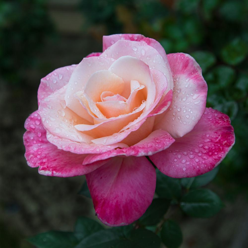 Rose1 Photography Art | Leiken Photography