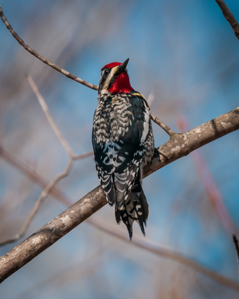 Yellow Bellied Sapsucker Photography Art | Monteux Gallery