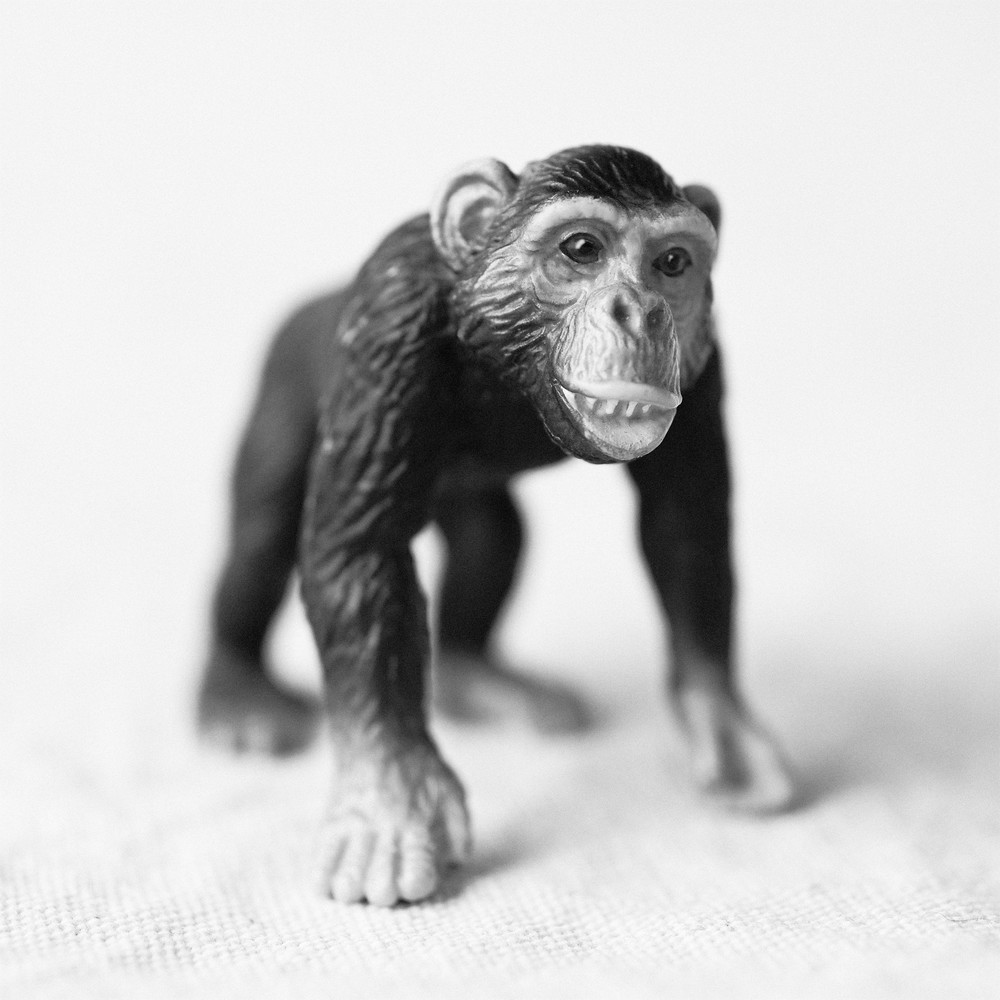 Chimpanzee Photography Art | Roman Coia Photographer