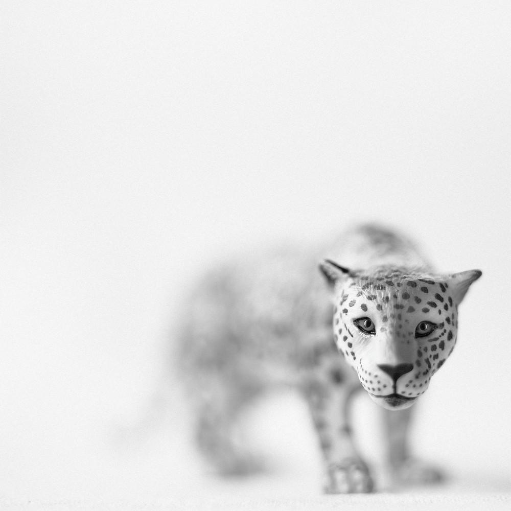 Jaguar Photography Art | Roman Coia Photographer