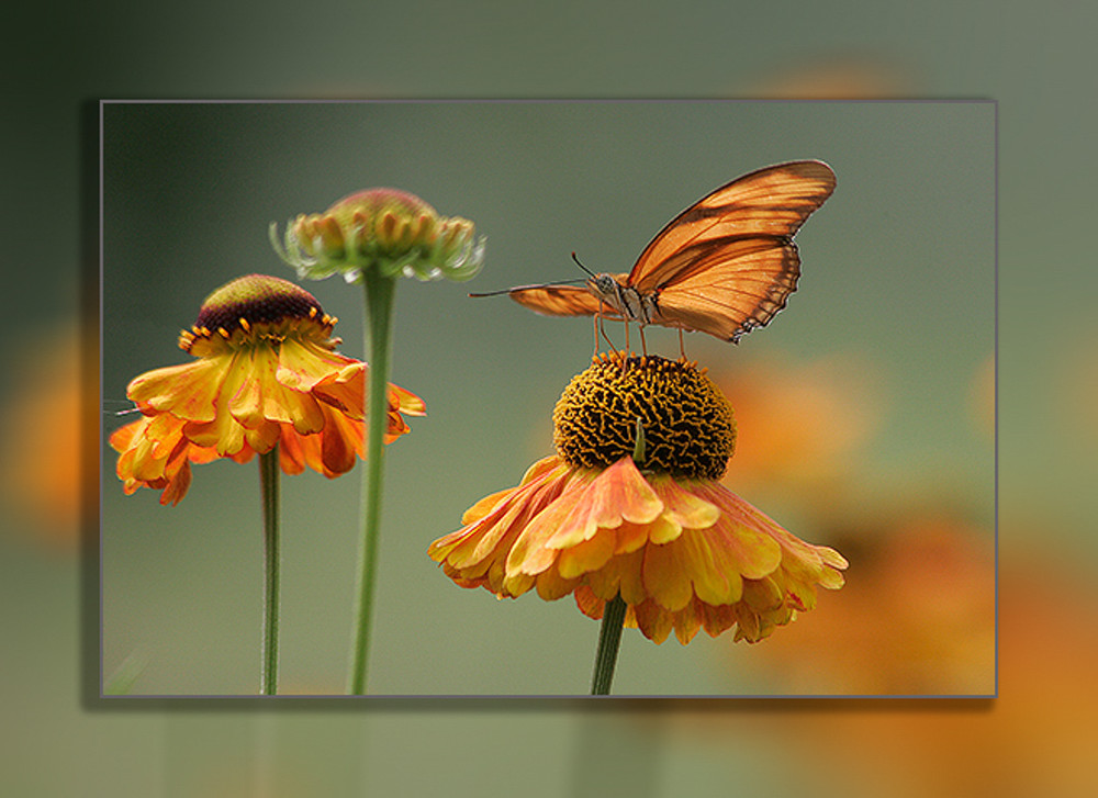 Butterfly   Julia H  3 D Photography Art | Whispering Impressions