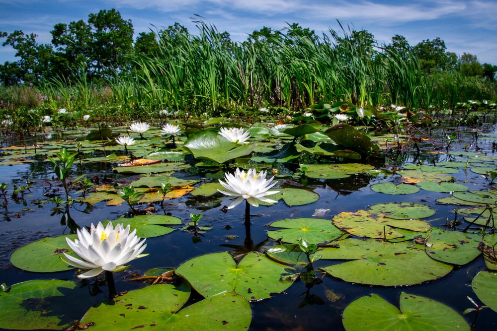 American lotus panoramic vista - Louisiana coastal fine-art photography prints
