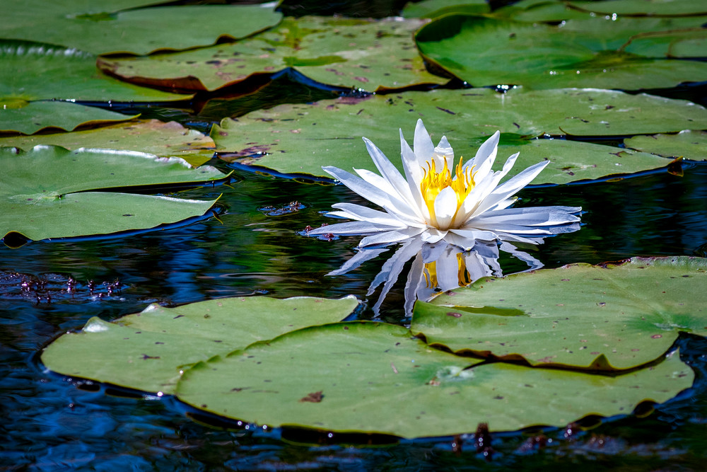 Lotus blossom - Louisiana fine-art photography prints