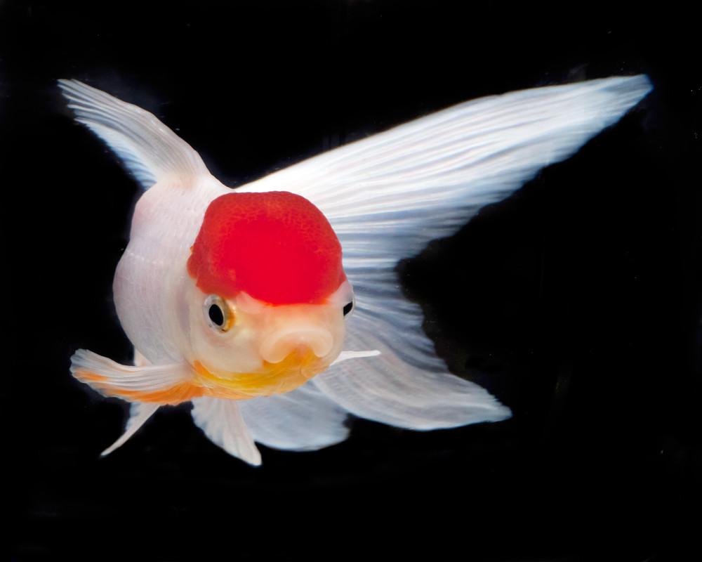 Goldfish 2 Photography Art | MPF Gallery